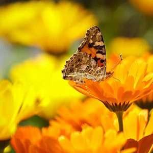 calendula y mariposa