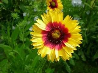 calendula flor