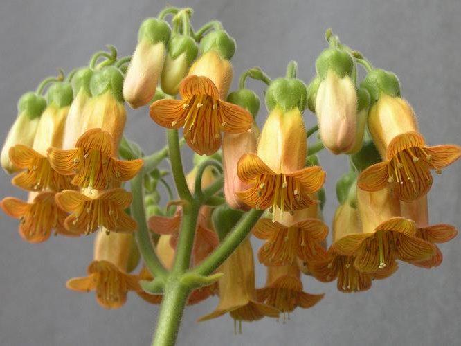 Kalanchoe Pubescens